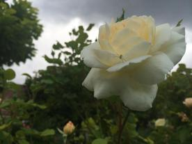 A green spider on a rose against a stormy sky