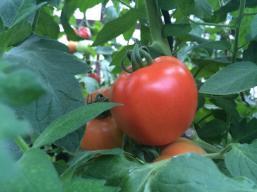 Fresh tomatoes!